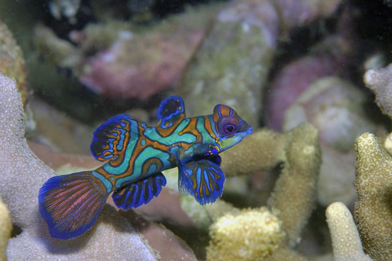 Мандариновая рыбка