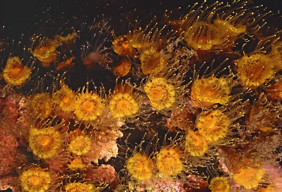 Шестилучевые коралловые полипы