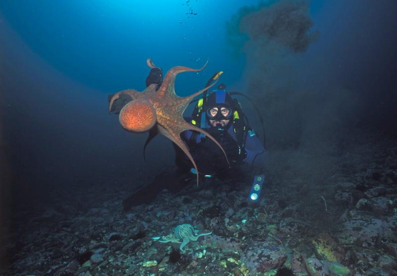 Молодой осьминог