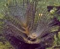 Венчик щупалец червя полихеты