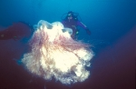 Гигантская медуза Цианея (встреча первая)