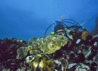 Рыба Морской ворон